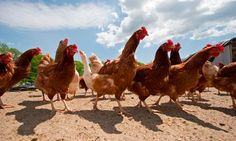 chicken feed......Kitchen scraps are off the menu for chickens, but you can still grow food for your birds, writes Andy Cawthray