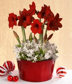 1000 images about gardening activities for seniors on for Amaryllis christmas decoration