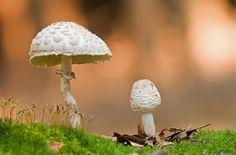 blätter Herbst laub Makro Moos Pilz Pilze Safranschirmling Schirmpilz Wald