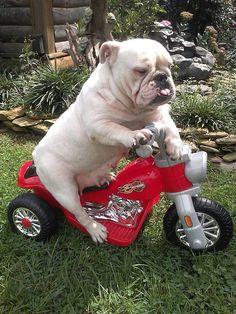 #Bulldog rider