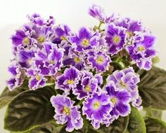 African Violet AE It's Raining Plant Russian Variety | eBay