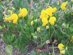 ミヤコグサ. Lotus japonicus . 9 May 2017.