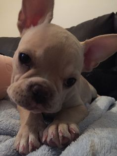 Gomita #frenchie