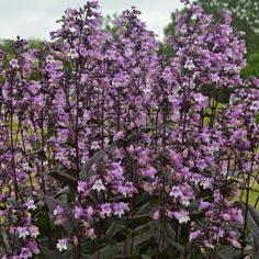 Perennials That Attract Hummingbirds to Your Garden! Midnight Masquerade Perennials That Attract Hummingbirds to Your Garden! Hummingbird Flowers, Hummingbird Garden, Purple Plants, Purple Flowers, Purple Garden, Shade Plants, Summer Flowers, Cut Flowers, Clematis