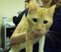 Adopt me! Please come see me. I am Emmitt and I have been here a long time with my friend Graham. Read all about me! I am at Almost Home inPennsauken, NJ. Emmitt is a gorgeous 2-3 yr old orange and white tabby with what may be a touch of Siamese given his beautifully an...