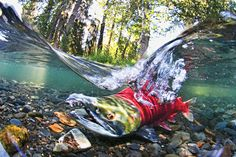 This is an awesome picture. The Sockeye Salmon's Last Swim - Slide Show - NYTimes.com. Credit to the photographer. For more fly fishing info follow and subscribe www.theflyreelguide.com. Also check out the original pinners site and support.