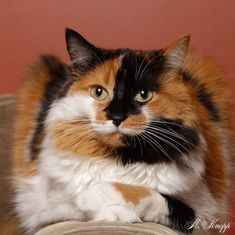 Leo Knopp - Calico Cat Portrait Oh my, what a stunner. I Love Cats, Crazy Cats, Cute Cats, Gato Calico, Calico Cats, Tortoise As Pets, Scared Cat, Here Kitty Kitty, Cat Tattoo