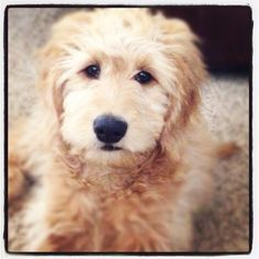 Golden doodle grooming styles on Pinterest   Goldendoodle, Mini ...