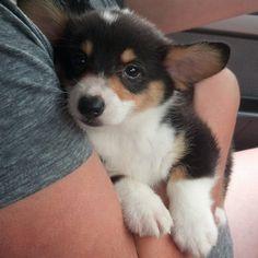 8 week old Baby Bruiser! This is a cute corgi puppy. Z