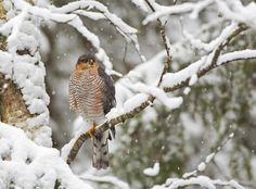 Accipiter nisus - Øyvind Sandbuløkken on 500px Eurasian Sparrowhawk