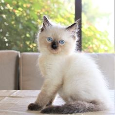 Kittens And Puppies, Baby Kittens, Kittens Cutest, Cats And Kittens, Cute Cats, Animal Pictures, Cute Pictures, Rex Cat, Pet Boutique