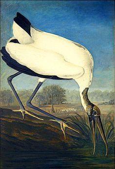 N.H. - Wood Ibis - John James Audubon