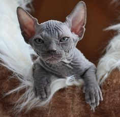 This particular breed of cat is medium-sized with the most noticeable features being the little to no hair and the wrinkled skin...