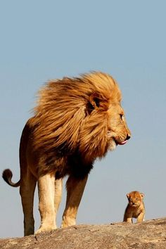 The Lion King | Amazing Pictures - Amazing Pictures, Images, Photography from Travels All Aronud the World