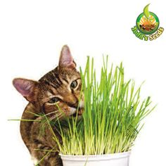Todd's Seeds, Wheatgrass Seeds, One Pound, Cat Grass Seeds, Hard Red Wheat Most Beautiful Gardens, Amazing Gardens, Pet Grass, Cat Care Tips, Pet Care, Thing 1, Pet Rabbit, Cat Treats, Garden Seeds
