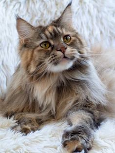 AURORA is a gorgeous 5-year-old Maine Coon kitty, with a wonderful personality. She is friendly, gentle and loves spending time with her humans. Aurora has been bounced around a bit in her life and will require a bit of patience and TLC at first.  She wo https://www.facebook.com/Mainecoonguide/posts/1975719376033701