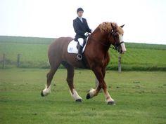 Flemish Horse stallion Rieck's Marcus T