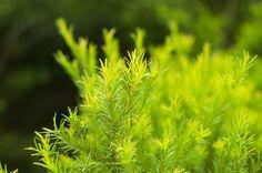 Teebaumöl: Wundertinktur bei Pickeln und Akne - Hilfe aus der Natur – | ||| | || CODECHECK.INFO