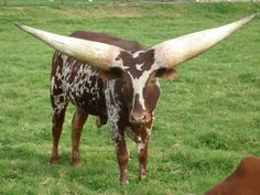 The Ankole-Watusi is a breed of cattle originally native to Africa. Its large, distinctive horns, that can reach up to 8 feet (2.4 m) from tip to tip, are used for defense. Ankole-Watusis weigh from 900 to 1,600 pounds (410 to 730 kg).  Living in the savannas and open grasslands, their diet consists of grass and leaves. The animal is sometimes known as Ankole or Watusi, and is one of the Sanga group of types.