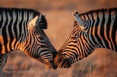 Equine kiss by MogensTrolle via http://ift.tt/2dLA4pX