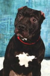 Ike is an #adoptable #AmericanStaffordshire #Terrier #Dog in #Allegan, #MICHIGAN. Ike came in as a stray in early December 2012but his owners never came in and claimed him. Ike is a friendly boy who unfortunate...