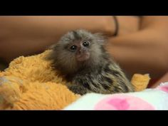 World Meet NINITA. Our New Baby Pygmy Marmoset! - YouTube