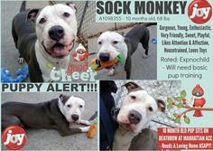 SOCK MONKEY – A1098355 Cutest puppy everumped by owner before christmas is on death list today! If you would like to foster or adopt and can't make it to the shelter, please write an email NOW to the Urgent Help Desk at Helpdogs@Urgentpodr.org Their experienced volunteers will assist you one-on-one with rescues and the application process. Transport can be arranged by rescues to the homes of approved fosters or adopters within 3-4 hours of New York City