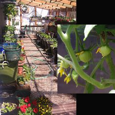 """Amazing how fast the greenhouse has come together.  I put a mist system in yesterday as it's already getting too hot.  Some of the flowers you see were """"store-bought"""" as we can almost set them out now in Montana, maybe tomorrow.  As you can see, 1"""" tomatoes, and in April in Montana!"""