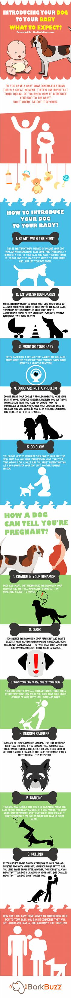 Infographic: Here's how to Introduce Your Dog To Your Baby and What to Expect. Visit Vanillapup.com for more posts like this.