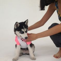 Meet Nala! We met Nala about fifteen minutes ago at our security desk at the factory and invited her up to do an impromptu photoshoot at our studios! #AApets #americanapparel #husky