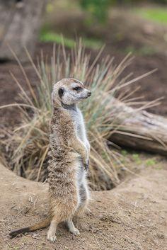Meerkat standing on its toes.