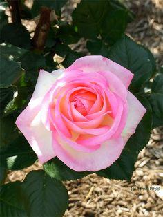 ニコールというバラ / This rose named Nicole.