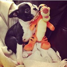Find Out More On Playfull Boston Terrier Puppies Boston Terrior, Boston Terrier Love, Terrier Breeds, Terrier Puppies, Terrier Mix, Terriers, Sweet Dogs, Cute Dogs, Funny Dogs