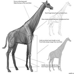 giraffe drawing step 1: start off with a gesture sketch to look at proportions and form. The total length of the legs are around two body widths long. The neck is equal to the length of the front limbs. User simple squares and rectangles to measure the animal.