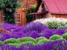 Purple Haze Lavender Farm Sequim - Washington State - Sequim is considered the  Lavender Capital of North America and is rivaled only by France. They have an annual Lavender Festival in July