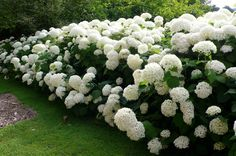 Annabelle Smooth Hydrangea Hydrangea arborescens annabelle Annabelle is a stunning white hydrangea, often producing flower heads over 10 in diameter. Blooms every year even after severe pruning and… Plants, Planting Flowers, Annabelle Hydrangea, Backyard Landscaping, Front Yard Landscaping, White Gardens, Hydrangea Arborescens Annabelle, Garden Design, Shade Garden