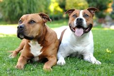Couple Staffordshire Bull Terrier