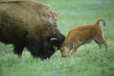 Bisons On Pinterest Calves Custer State Park And Cows