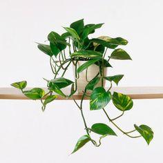 Devil's ivy (Epipremnum) - Common House Plants - Sunset