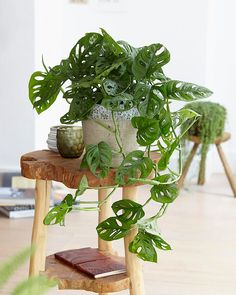 Monstera Monkey Leaf Swiss Cheese Plant Houseplant in a Pot