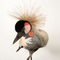 photo by @joelsartore | an East African crowned crane from Parc des Oiseaux a bird park in the town of Villars Les Dombes France. Please follow me at @joelsartore for more photos. #joelsartore #beautiful #photooftheday #france by natgeo