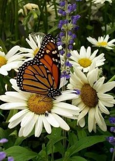 Daisies and butterfly.