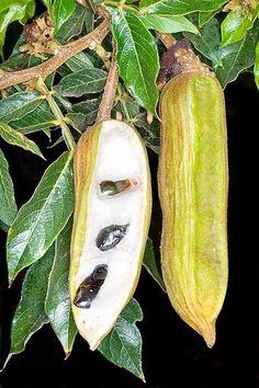 Ice Cream Bean Fruit:: Inga edulis.. .
