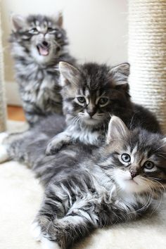 """Siberian Kittens ~ """"The Siberian is a domestic cat breed that has been present in Russia for centuries"""". (hmm.. good to know)"""
