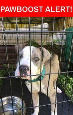 Is this your lost pet? Found in St. Augustine, FL 32086. Please spread the word so we can find the owner!  Grey and white bull  Nearest Address: Near Kings Estate Road, St Augustine, FL