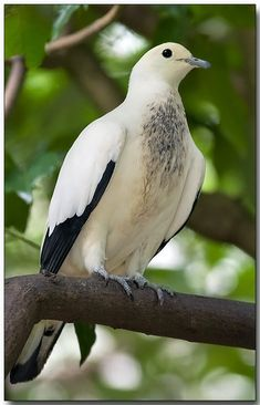 Pied Imperial-Pigeon 2