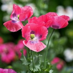 Pink Poppies Print by Rona Black ~ A close-up photograph of bright pink poppies (papaver somniferum), blooming in a garden outside of Amsterdam. This is a square format image.  Art prints are available on paper, canvas, metal and acrylic. www.ronablack.com