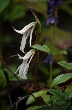 Orchid: Funkiella hymenalis [Synonym: Schiedeella hyemalis]