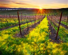 Napa vineyards.