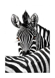 Canvas wall art print of a zebra. Images from Africa